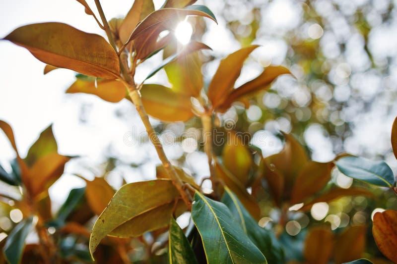榕属植物充满活力的绿色热带叶子特写镜头照片  免版税库存照片