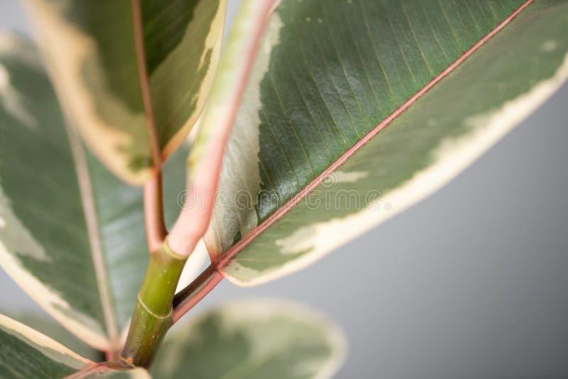 榕属植物特写镜头叶子  陶瓷罐的时髦的绿色植物在灰色墙壁背景的木葡萄酒立场  免版税库存照片