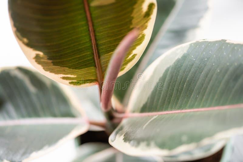 榕属植物特写镜头叶子  陶瓷罐的时髦的绿色植物在灰色墙壁背景的木葡萄酒立场  库存照片