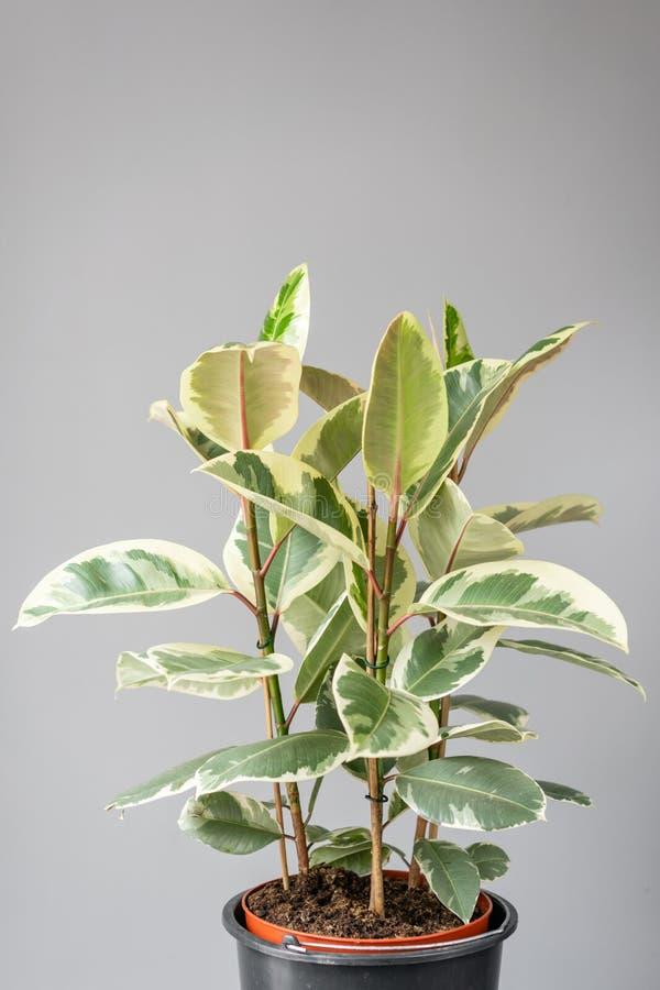 榕属植物特写镜头叶子  陶瓷罐的时髦的绿色植物在灰色墙壁背景的木葡萄酒立场  库存图片