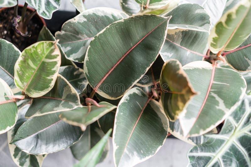 榕属植物特写镜头叶子  陶瓷罐的时髦的绿色植物在灰色墙壁背景的木葡萄酒立场  图库摄影