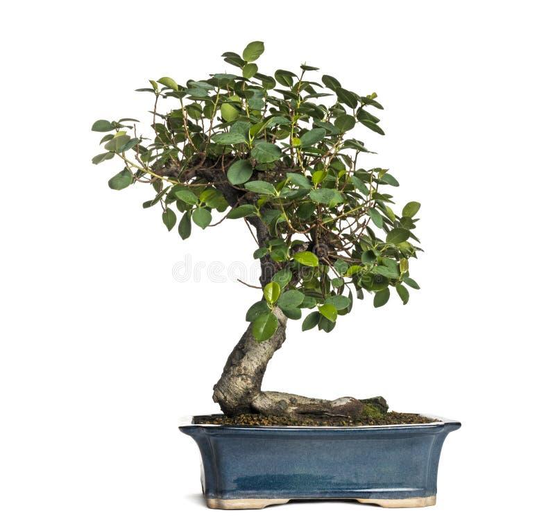 榕属熊猫盆景树,榕属retusa,被隔绝 免版税库存照片