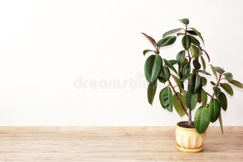 榕属-温室植物 库存照片