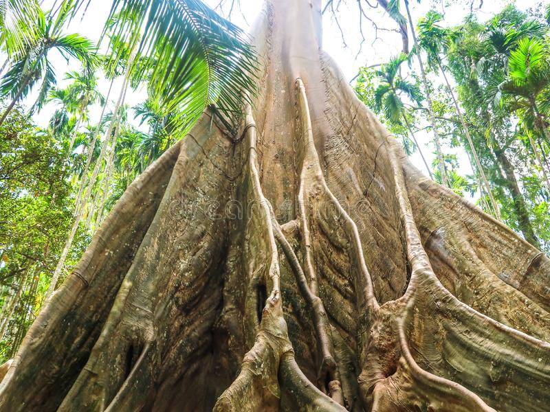 榕属albipila,在Uthaithani,泰国的巨型树 库存图片