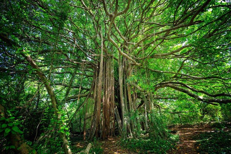 榕属citrifolia树,亦称shortleaf无花果 免版税库存图片