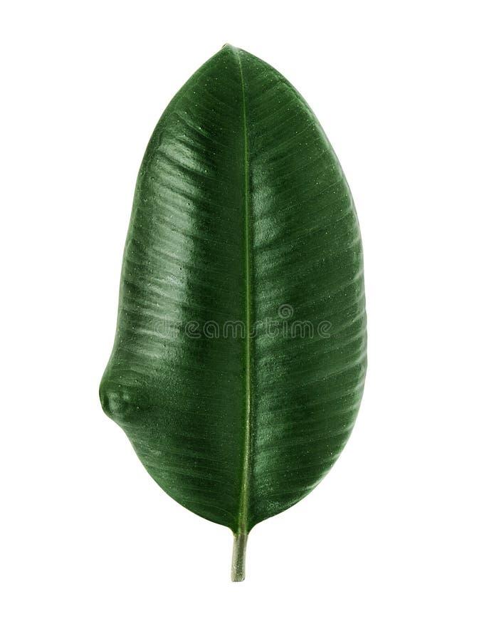 榕属elastica叶子 免版税图库摄影
