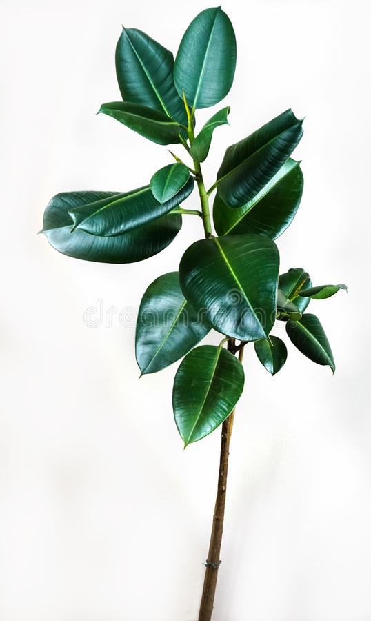 榕属elastica植物生叶有被隔绝的白色背景 库存图片