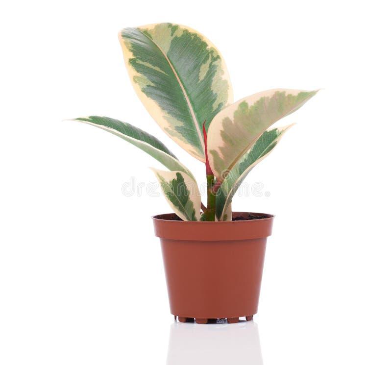 榕属elastica植物 免版税库存照片