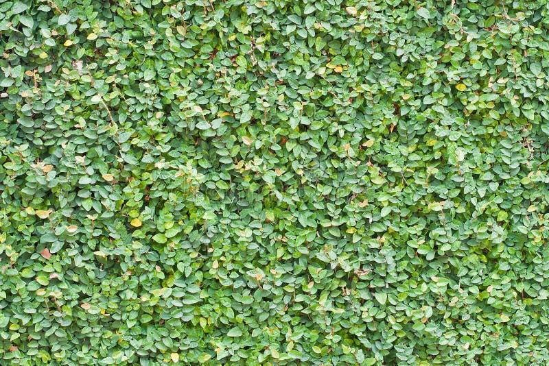 榕属pumila留下墙壁背景 库存照片