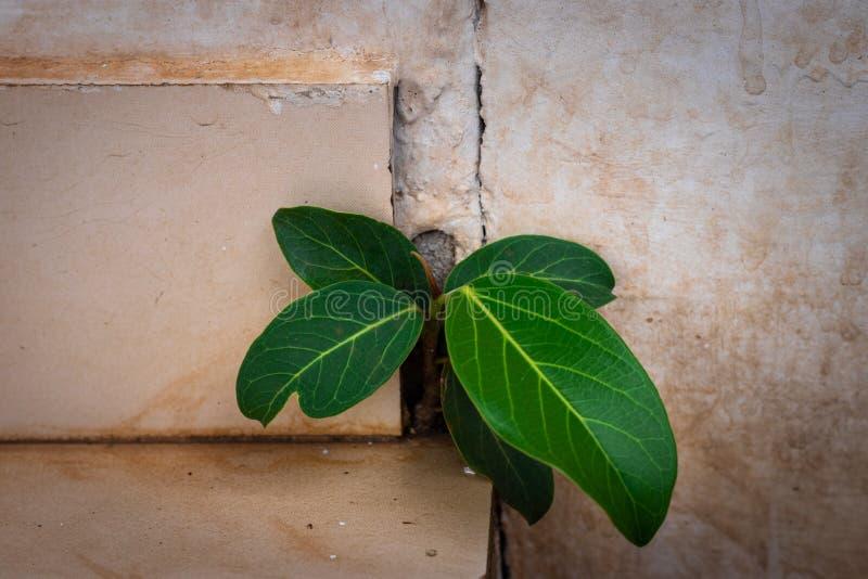 榕树小生长在混凝土墙 库存图片