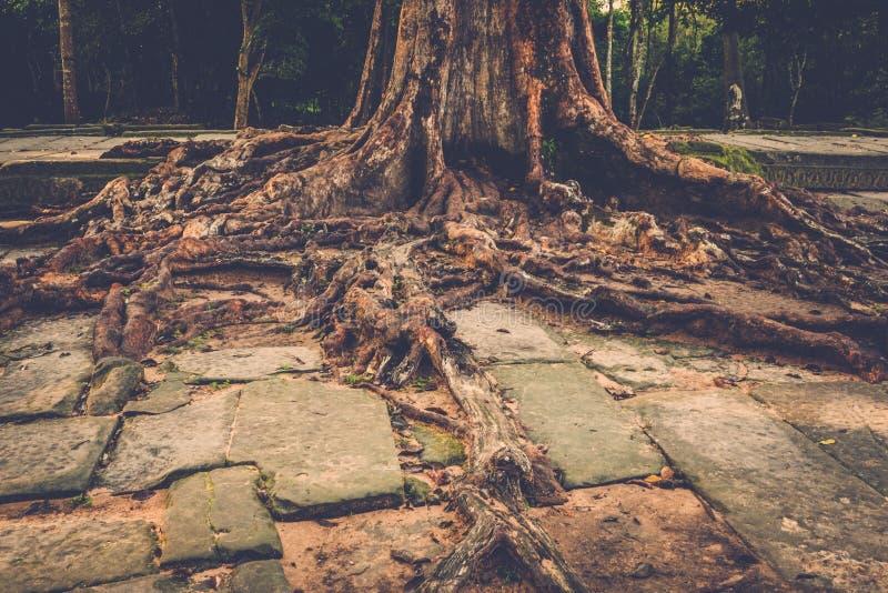 榕树根源于吴哥寺庙废墟,暹粒,柬埔寨 免版税库存照片