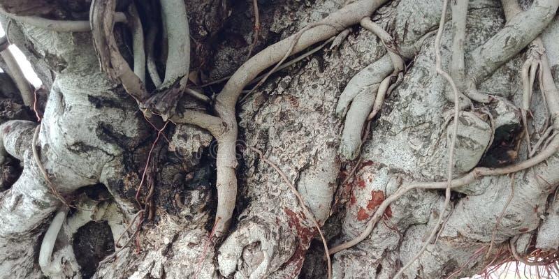 榕树根源并且构造自然背景墙纸, 免版税库存图片