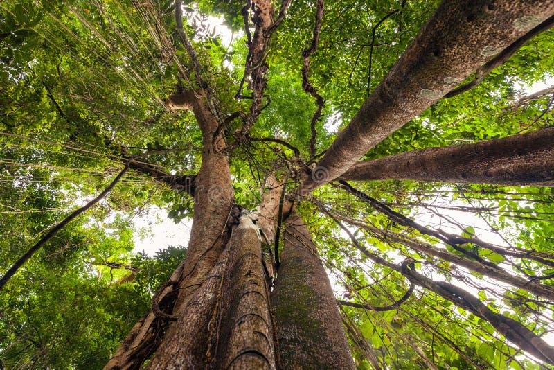 榕树,在热带密林自然的榕属树 免版税库存图片