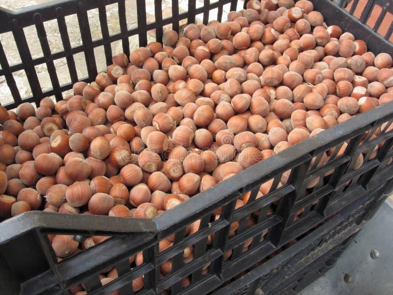 榛子或大榛子或者欧洲榛树在塑胶容器 秋天果子 库存图片