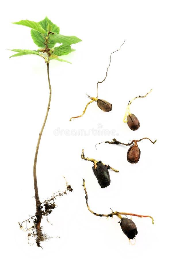榛子根源结构树年轻人 库存照片