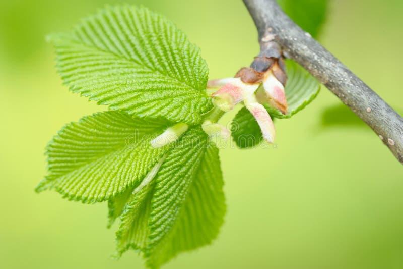 榛树叶子在春天 免版税库存照片