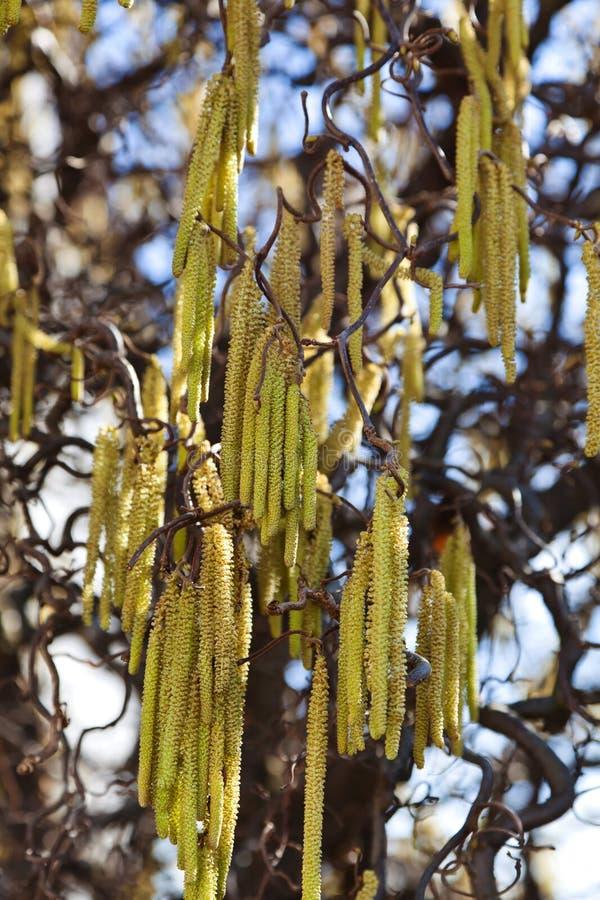 榛树花在春天 免版税库存照片