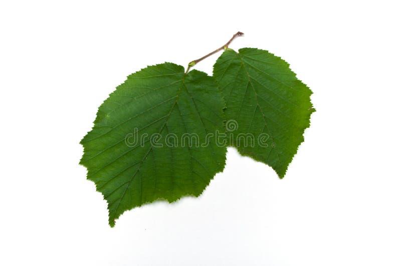 榛树被隔绝的叶子  免版税库存图片