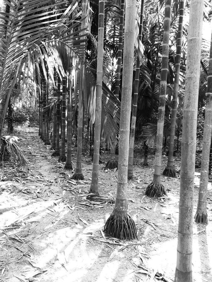 槟榔子树画象对称视图在黑白的 免版税库存照片