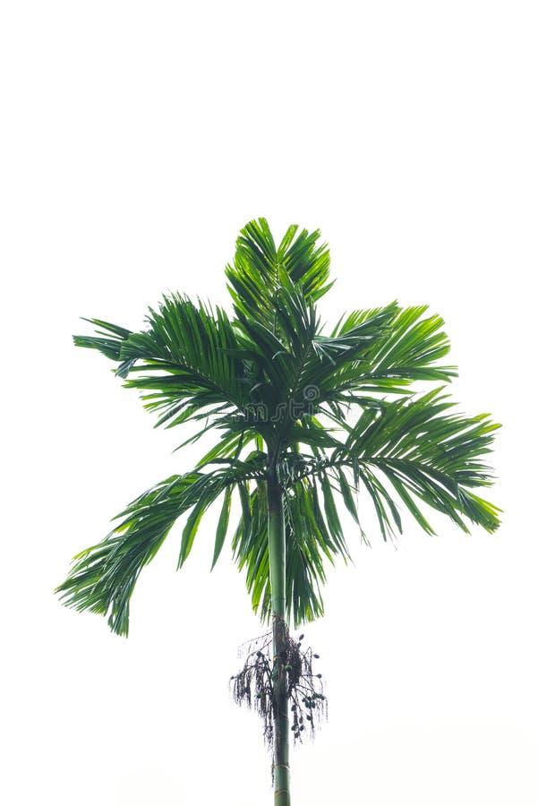 槟榔子结构树 库存图片