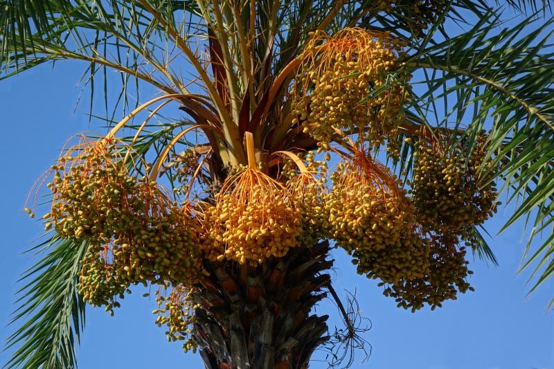 槟榔树与果子群的棕榈树 库存图片