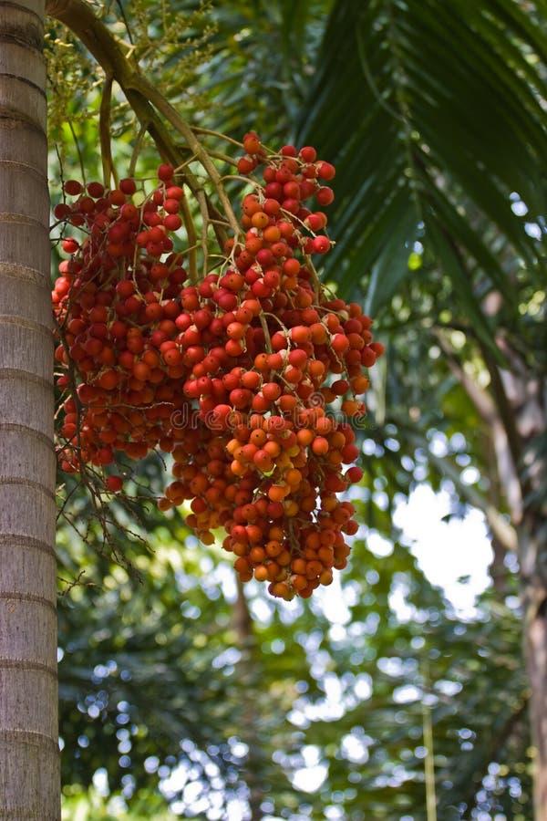 槟榔 免版税图库摄影