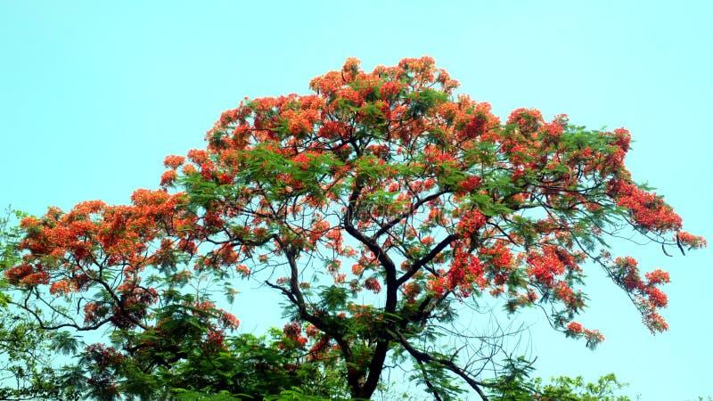 槭叶瓶木Delonix在充分的景气的regia树 免版税图库摄影