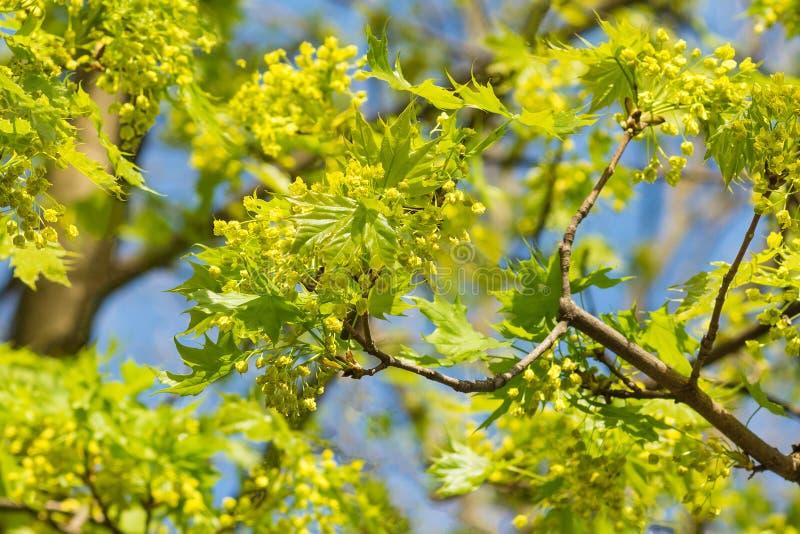 槭树分支与年轻叶子和花在蓝天背景在春天 库存图片