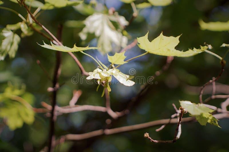 槭树分支,加拿大的标志 槭树种子 免版税库存照片