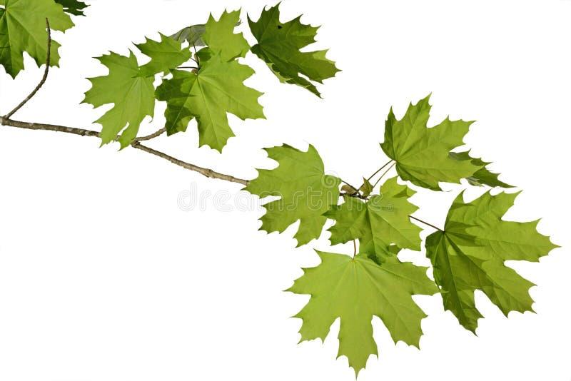 槭树分支 免版税库存照片