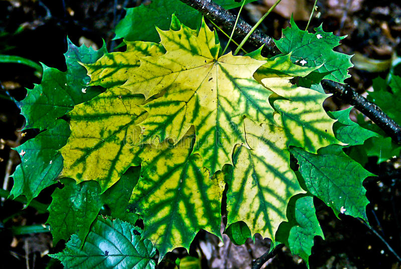槭树叶子在秋天森林里。 免版税图库摄影