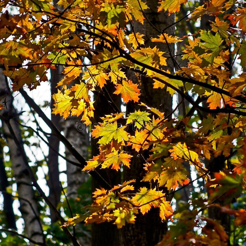 槭树叶子在秋天森林里。 免版税库存图片