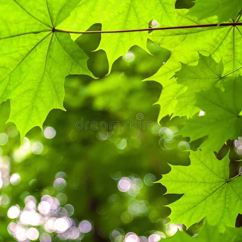 Download 槭树叶子在晴天 库存照片. 图片 包括有 风景, 白天, 落叶, 沼地, 本质, 路径, 严重, 森林, 能源 - 72354380