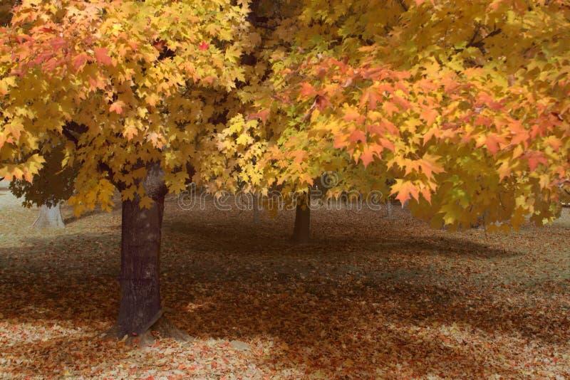 槭树叶子机盖在秋天 免版税库存图片