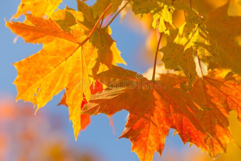 槭树叶子秋天五颜六色的背景  库存照片