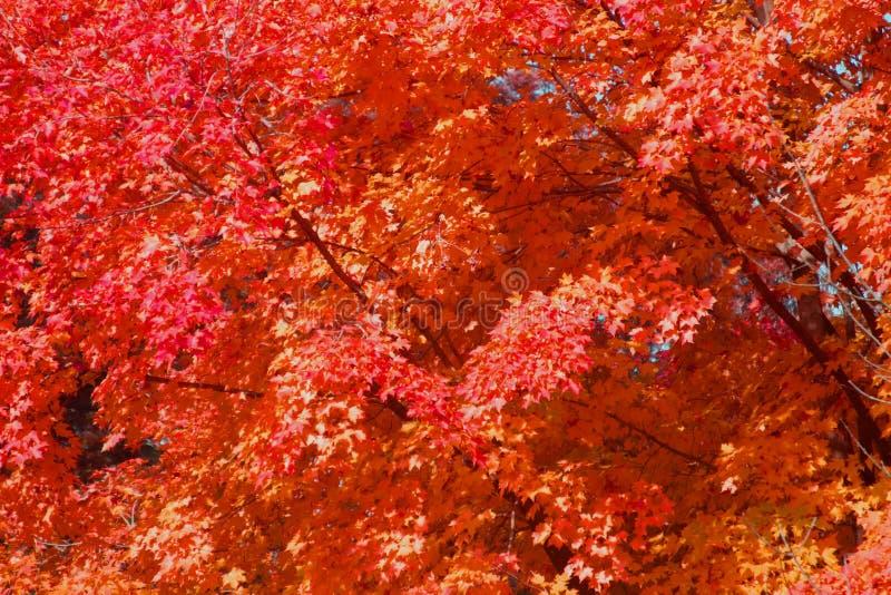 槭树叶子背景在秋天 库存照片