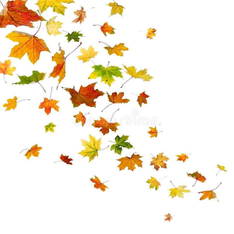 槭树叶子落 免版税库存图片