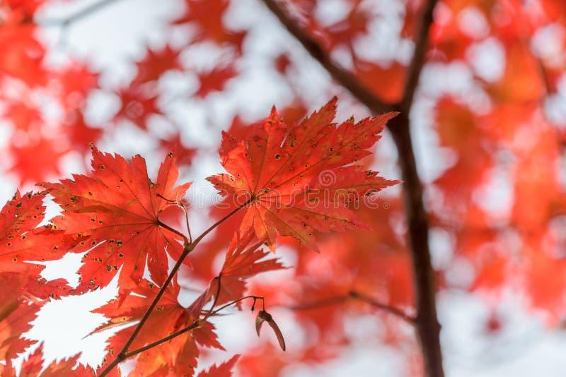 槭树叶子,秋天抽象背景[软的焦点] 库存图片