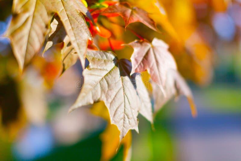 黑槭树叶子 免版税库存照片