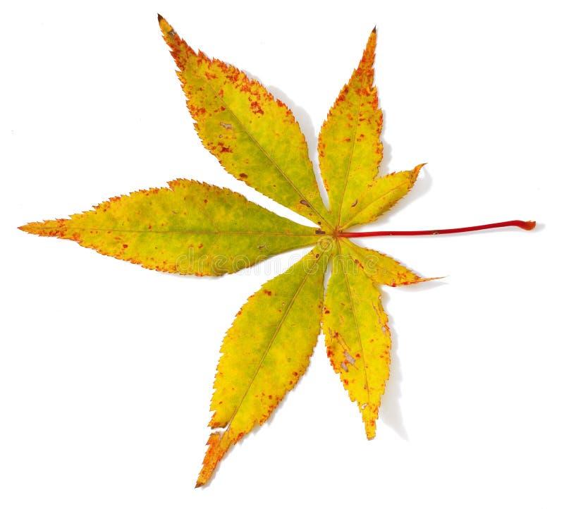 槭树叶子 库存照片