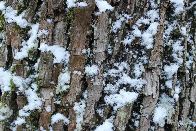 槭树吠声在Gatchina公园在冬天 免版税库存照片