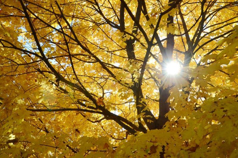从槭树和太阳的叶子和分支的抽象背景 免版税库存照片