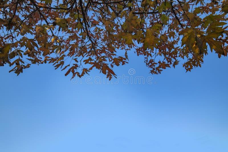 槭树在天空蔚蓝生叶 皇族释放例证