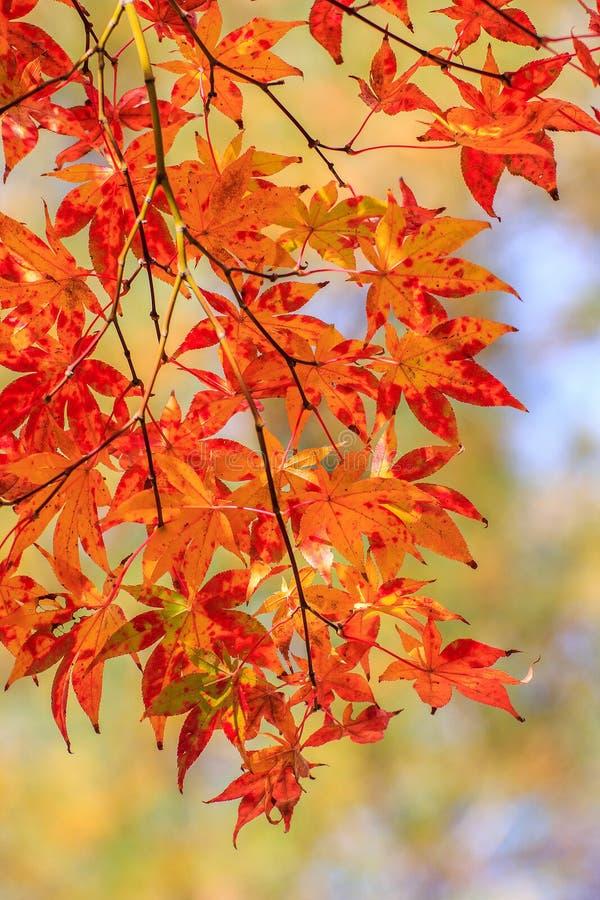 槭树在秋天时间把改变的颜色留在 免版税库存图片