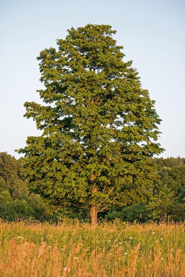 槭树在草甸单独站立 免版税图库摄影