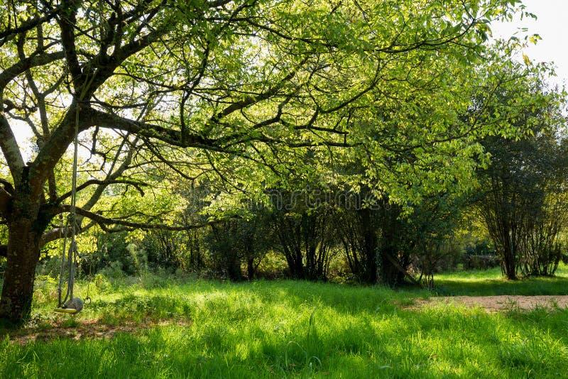 槭树在绿色草甸 库存图片