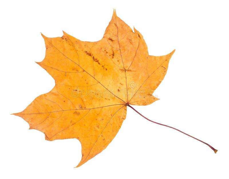 槭树干下落的黄色秋天叶子  免版税库存图片