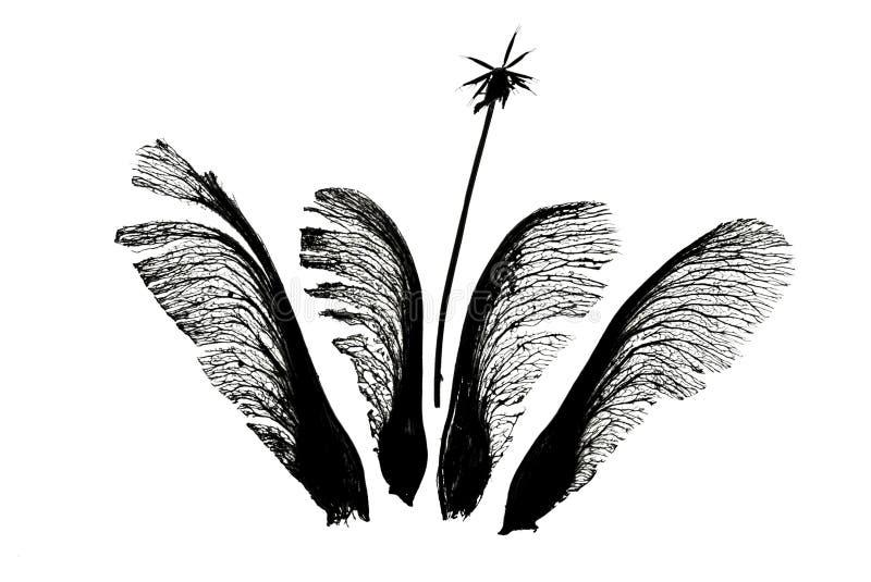 槭树播种与鬼针草属的quartett 免版税库存图片
