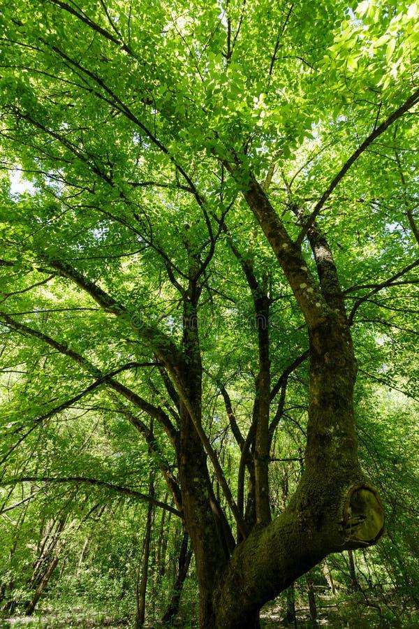 槭树春天 库存照片
