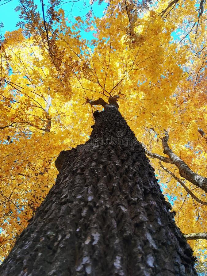 槭树树干和美丽的被染黄的秋叶 免版税库存图片